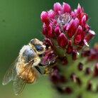 A bee buzzes the crimson clover at Monticello.
