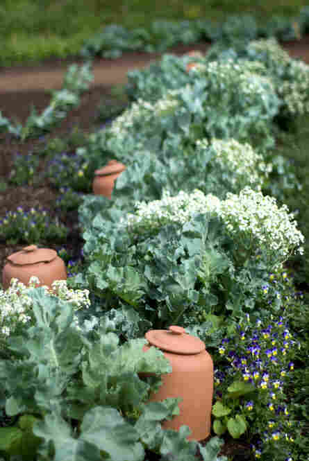 Sea kale is a perennial cabbagelike plant that grows wild on the seacoast of Great Britain. In the wild, shoots are covered by shifting sands, which prevents the production of chlorophyll and keeps the leaves white and more tender.