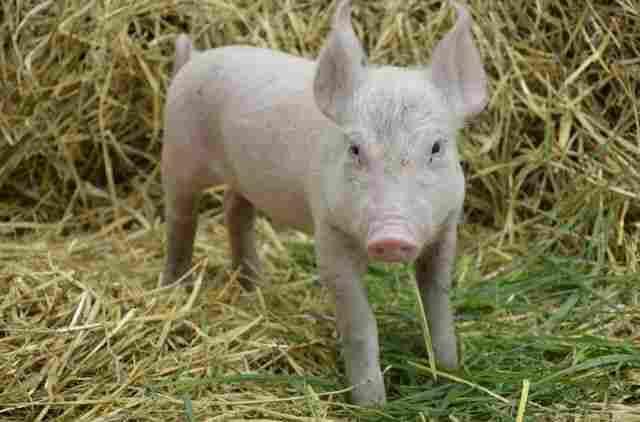 Franklin the piglet.