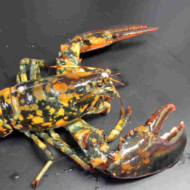 The calico lobster known as Calvin is shown in this photo provided by Boston's New England Aquarium. The lobster is dark with bright orange and yellow spots.