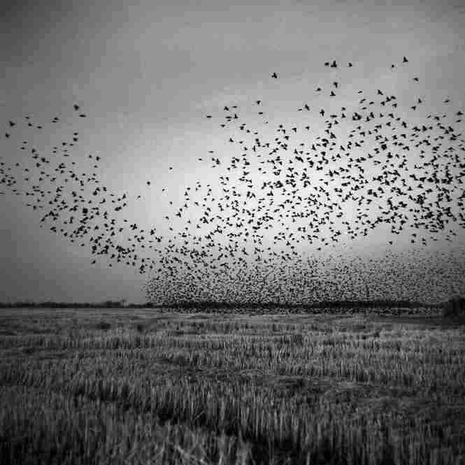 Black birds swarm over a harvested field near Mound Bayou, December 2010.