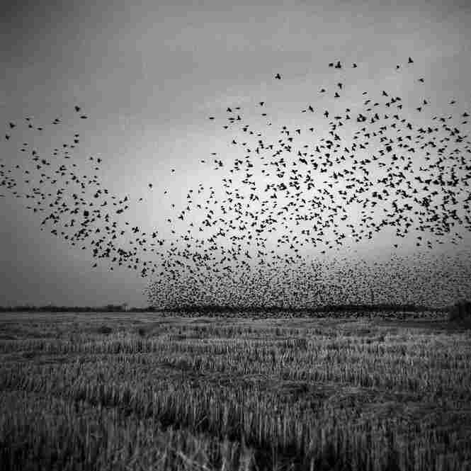Black birds swarm over a harvested field near Mound Bayou, December 2010.
