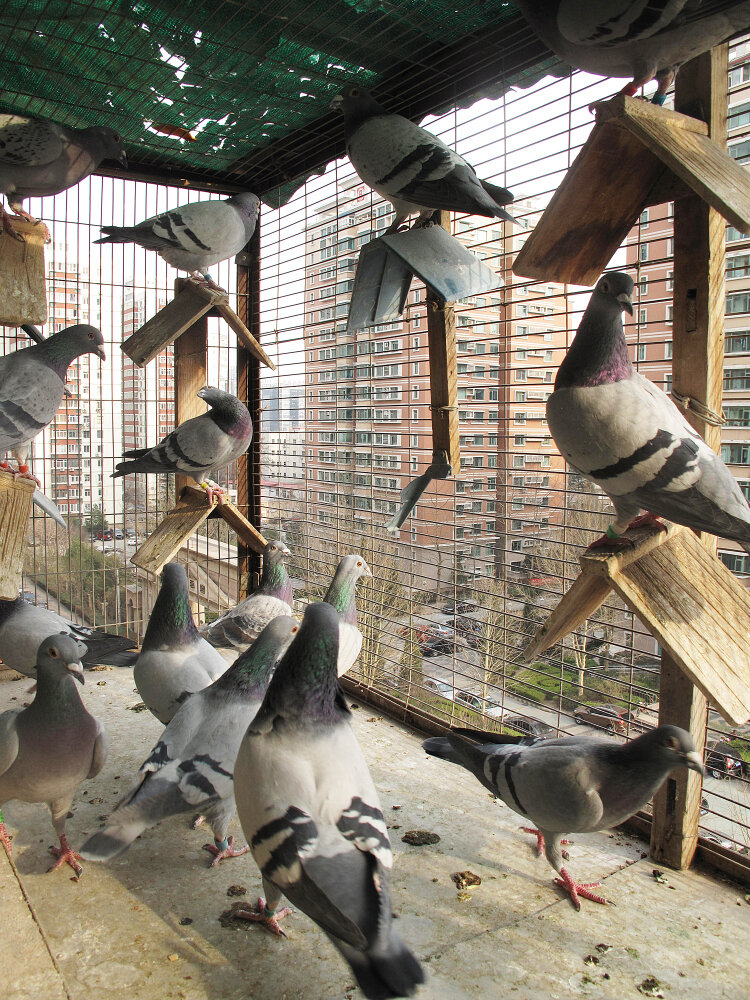 The Price Of A Swift Pigeon: Try $328,000 : NPR