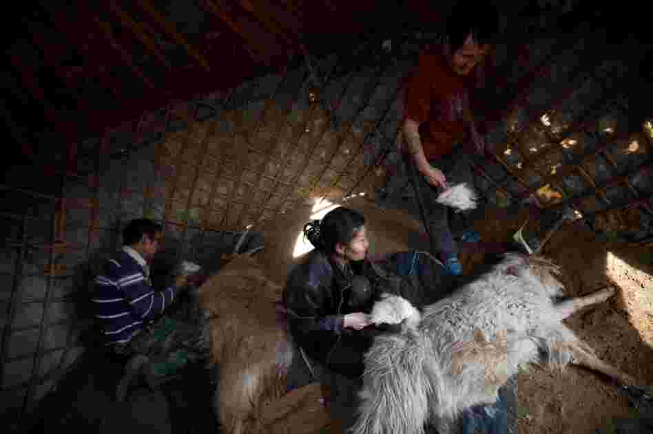 Workers brush cashmere goats in South Gobi on the Badam family's farm. Cashmere wool, milk and meat are the main commodities for Mongolia's herders.