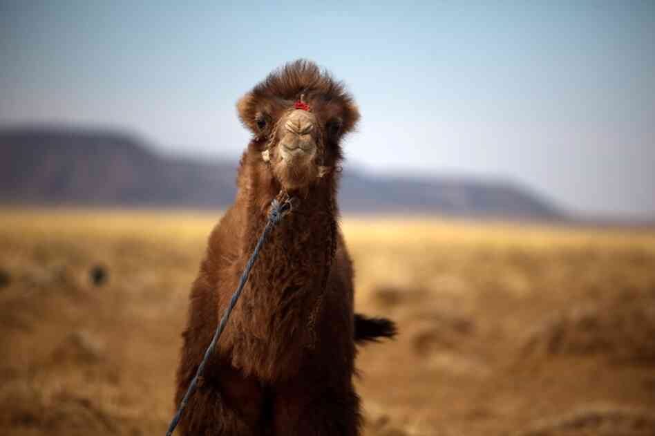 A baby Bactrian camel is tied up at the edge of the Badam family's small farmstead. Bactrian camels — like all Mongolian mammals — have thick fur to withstand the winters.