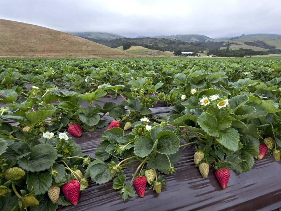 Strawberry research fields in Watsonville, Calif.