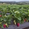 Strawberry research fields in Watsonville, Calif.