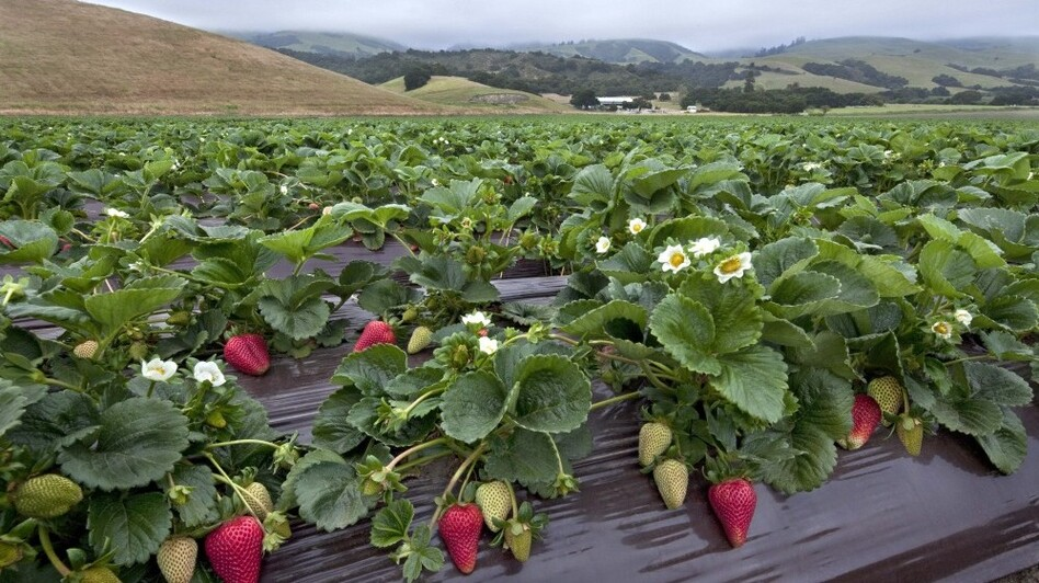 Strawberry research fields in Watsonville, Calif. (courtesy California Strawberry Commission)