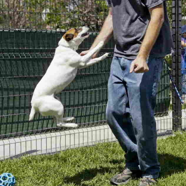 Matthew Weins of the Society for the Prevention of Cruelty to Animals, Los Angeles, works with Daisy on a demonstration aimed at showing that even small dogs can jump high to bite.