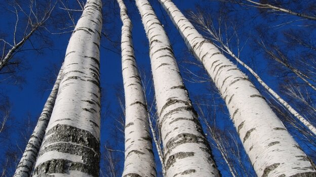 Soaring birches, waiting to be tapped for sap