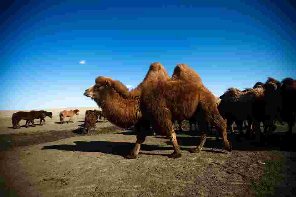 South Gobi is made up mostly of herders who graze their animals in this arid land. The herders fear too much water will be lost to mining.