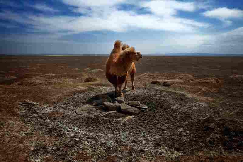 A camel stands at a dried-up sacred well near the house of herder Khishigdelger Adiya. There's white salt where water used to flow.