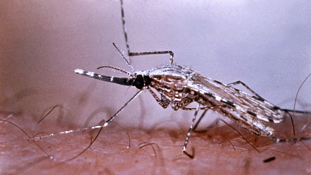 The Anopheles stephensi mosquito transmits the malarial parasite while dining on human blood. You can find this type of mosquito in Afghanistan, China, India, Thailand and the Middle East. (CDC)