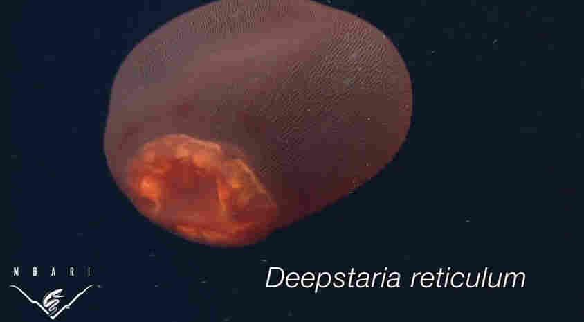 Deepstaria Reticulum 3