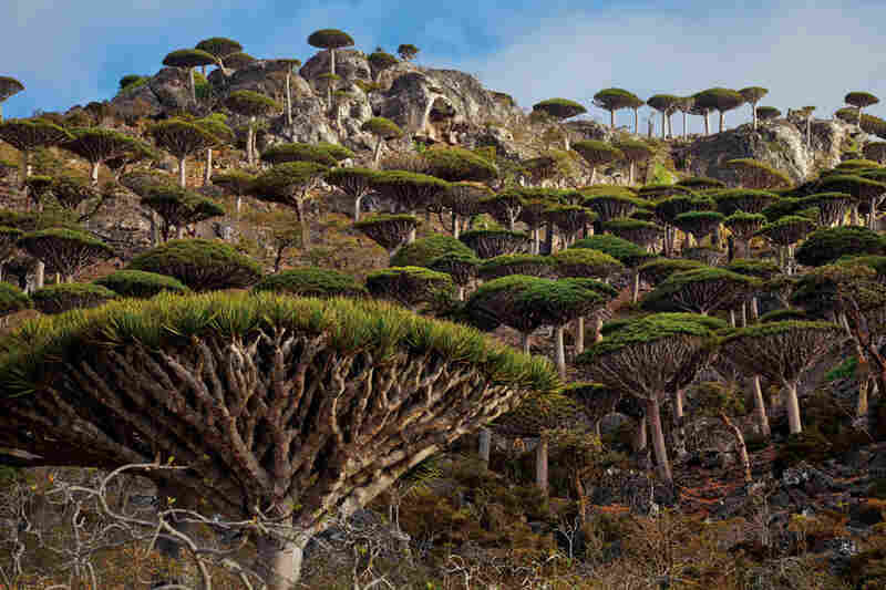 Dragon's blood forests are nearly devoid of seedlings and young trees. Some scientists blame a lack of water caused by a decrease in seasonal cloud cover — and predict that many stands could disappear within a century.