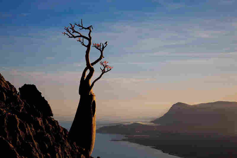 A desert rose anchors itself on the Maalah cliffs, in the company of more than 300 other rare plant species on Socotra. In the distance lies Qulansiyah, one of the island's largest towns.