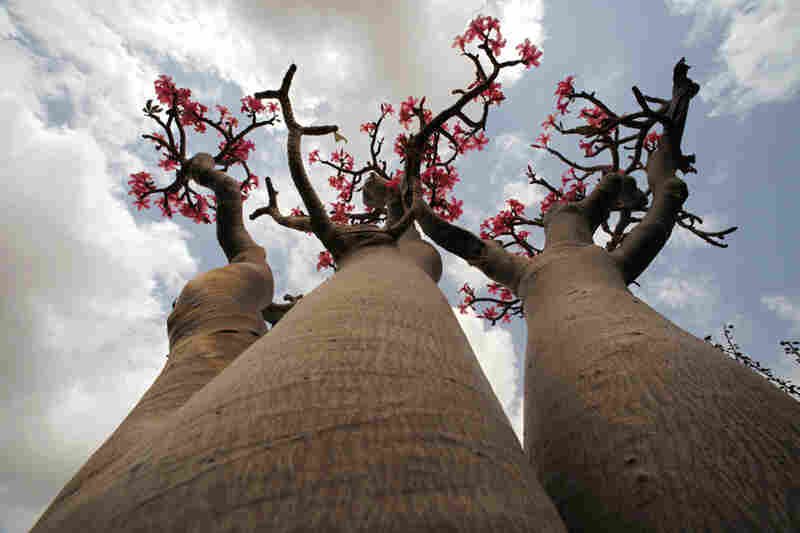 The desert rose got its name from its blossoms, though the plant is not related to cultivated roses. Herders tie strips of the poisonous bark around the necks of young goats in an effort to protect them from marauding feral cats.