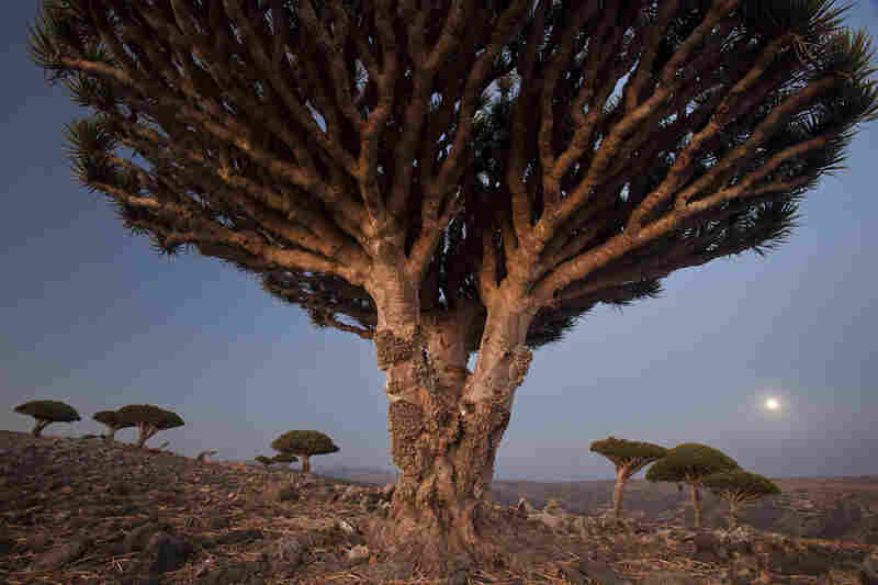 A full moon rises over the Diksam Plateau, where dragon's blood trees grow in scattered groves. The limestone of Socotra's interior plains formed when ancient seas covered the land.
