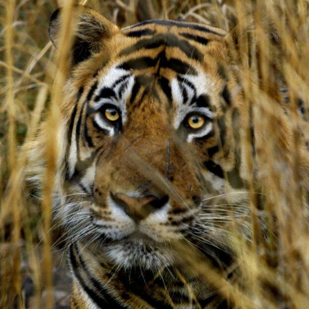 An Indian tiger looks out from a camouflaged cover in the Ranthambhore Nat