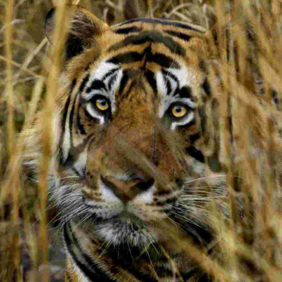 An Indian tiger looks out from a camouflaged cover in the Ranthambhore National Park. (March 2000 file photo.)