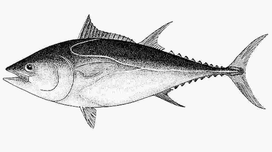 A Pacific bluefin tuna.