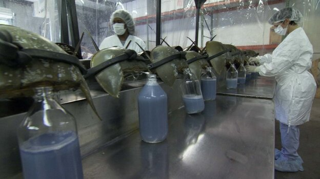 Scientific and medical communities have discovered that the horseshoe crab provides an indispensable testing agent for drugs and vaccines, as well as resources for human optics and burn treatment.