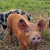 The antibiotic-free pigs roam freely on Niman Ranch in Iowa.