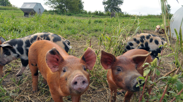 The antibiotic-free pigs roam freely on Niman Ranch in Iowa. (courtesy Niman Ranch)