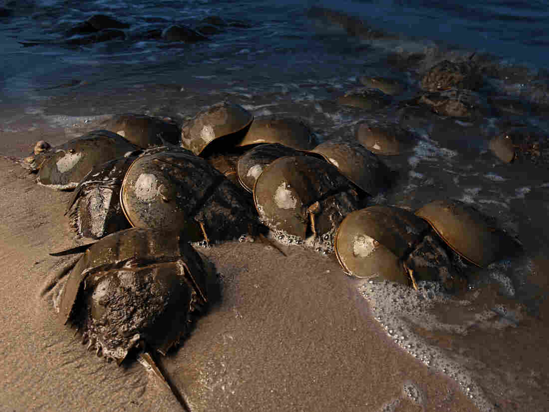 Horseshoe crabs in Delaware Bay in May, 2012.