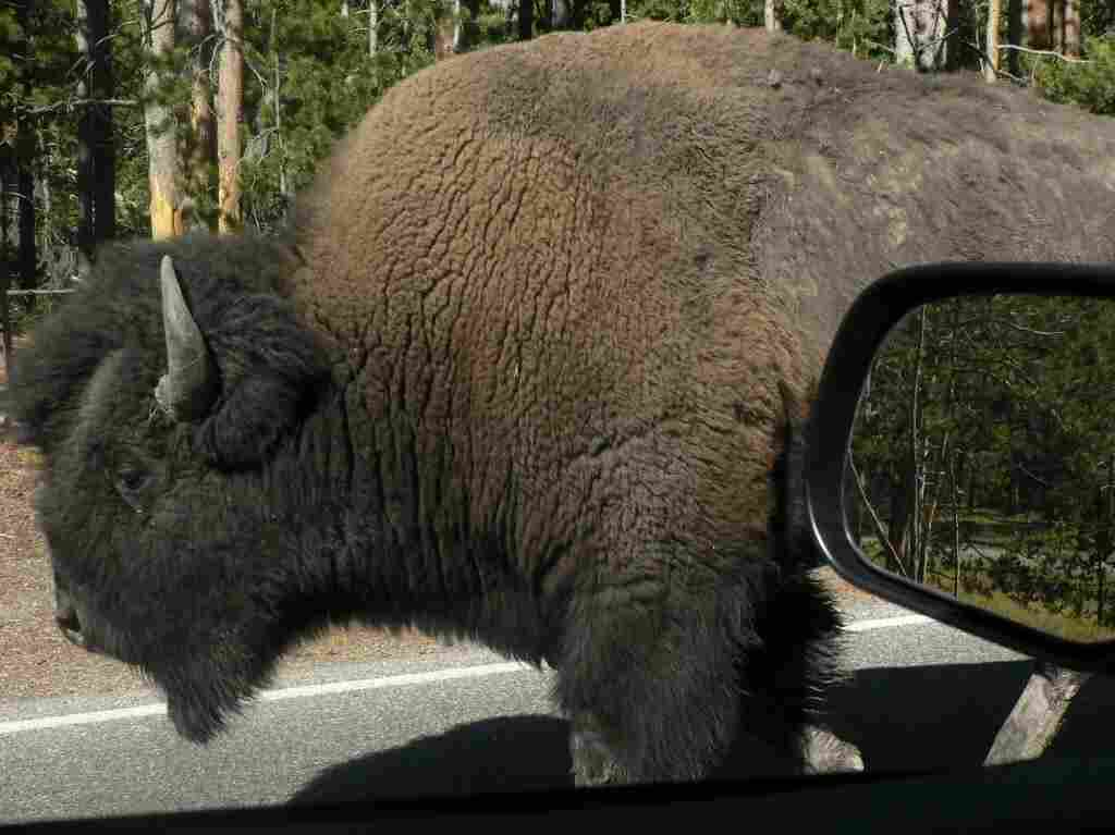 Up close with the wildlife at Yellowstone