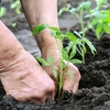 A tomato expert recommends planting seedlings in rich soil with lots of organic matter and a steady slow-release fertilizer.