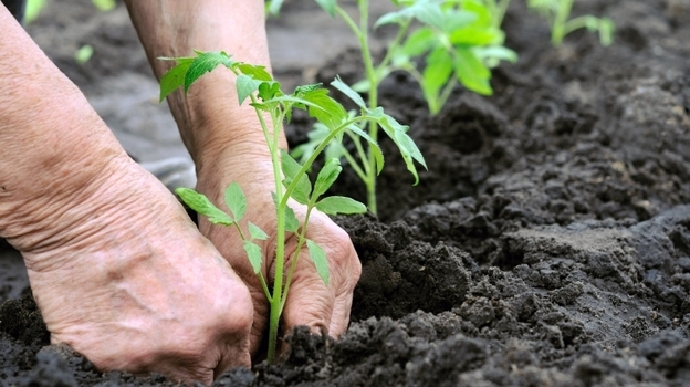 A tomato expert recommends planting seedlings in rich soil with lots of organic matter and a steady slow-release fertilizer. (iStockphoto.com)