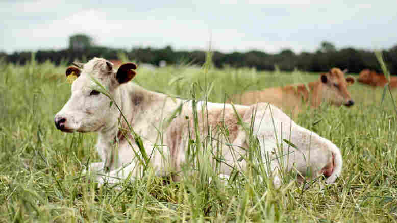 This cow may have been raised for food on a farm near you, but it may not necessarily have been processed nearby