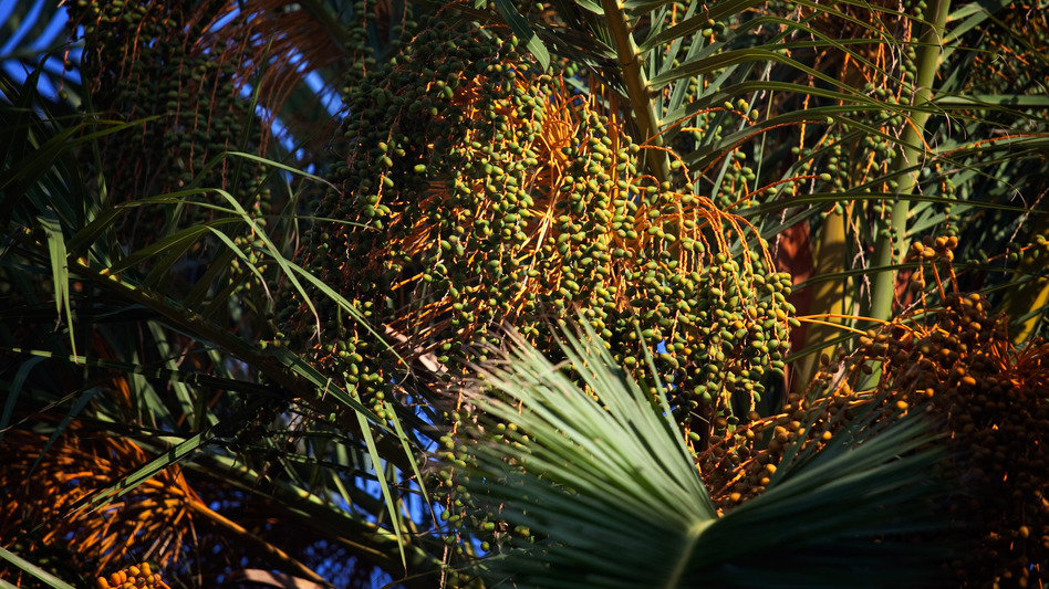 Date palms in Tunisia. The city of Gabes is famous for it's legmi - a drink made from the sap of date palm trees. (NPR)