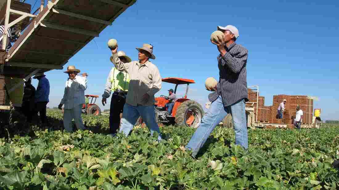 Workers harvest cantaloupe near Firebaugh, Calif.