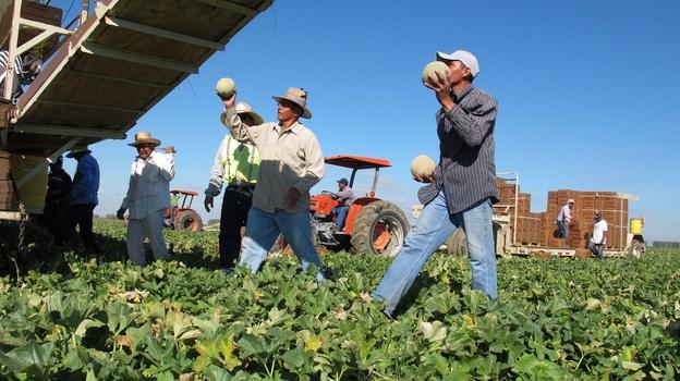 Workers harvest cantaloupe near Firebaugh, Calif. (AP)