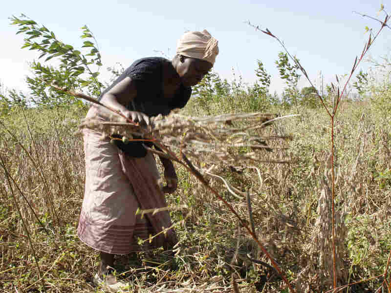 A Mozambique woman harvests soybeans