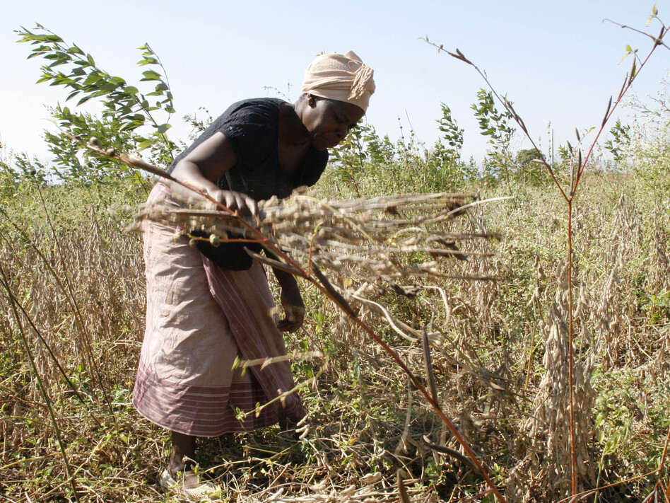 A Mozambique woman harvests soybeans (NPR)