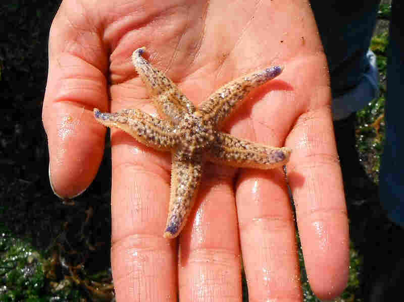 Among the creatures that survived the trans-Pacific trek aboard the Japanese dock was this sea star, which was found inside the float.