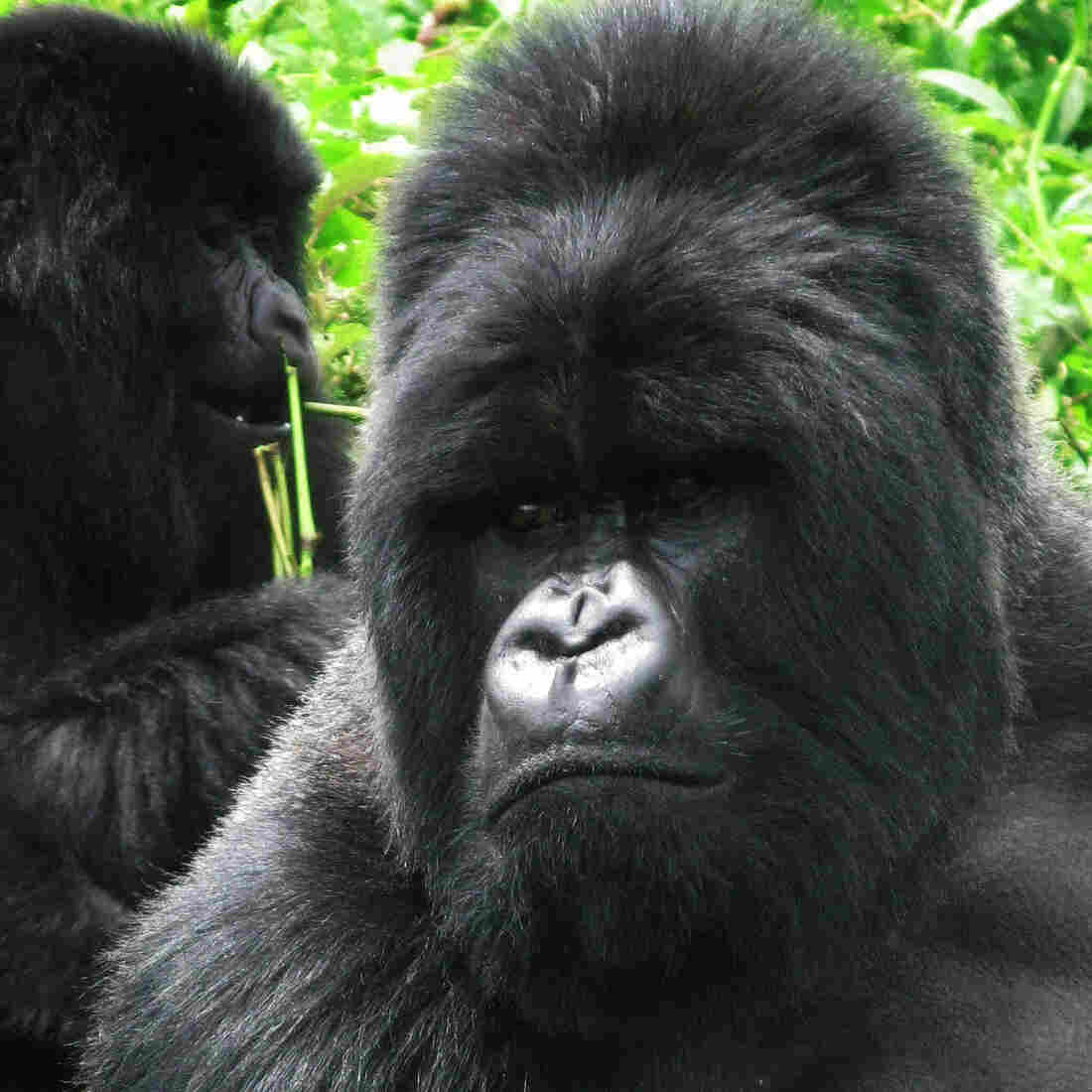 Growling With The Gorillas: A Rwanda Mountain Trek