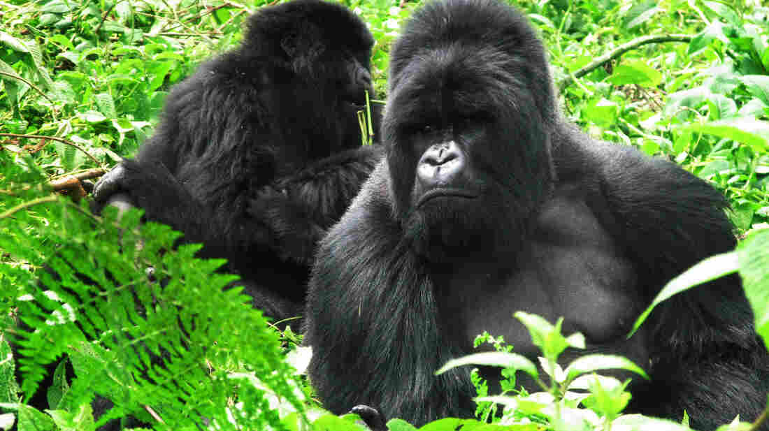 Gorillas rest in the Virunga mountains of Rwanda. More than half of the world's mountain gorillas live in the volcanic chain in East Africa.