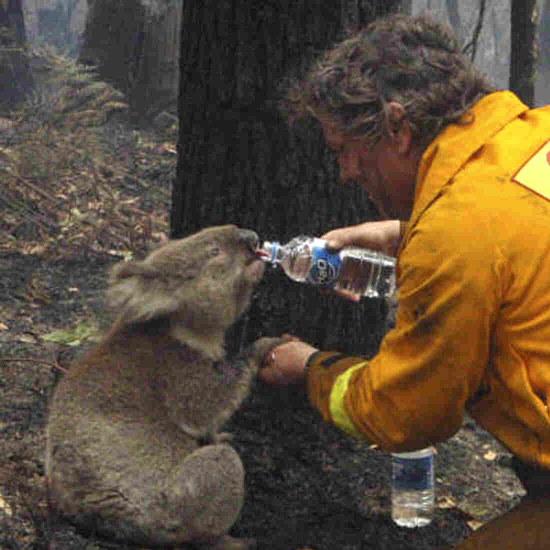 "When wildfires swept across Australia in February 2009, this photo of a firefighter sharing his water with an injured koala captured hearts around the world. The koala later died — not of fire-related injuries, but of chlamydia. Koalas in Australia are suffering from an epidemic of chlamydia, says Dr. Barbara Natterson-Horowitz. ""There's no such thing as safe sex in the wild."""