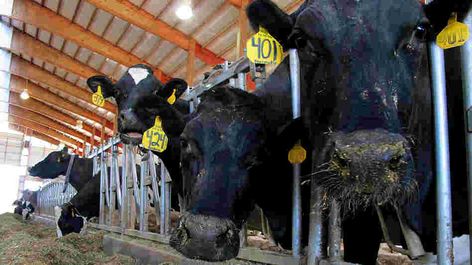 Dairy cows feed on a farm in Chilton, Wis., in May. The farm bill being considered by Congress, part of a massive package that could cost nearly $1 trillion over a decade, contains a number of provisions affecting dairies.