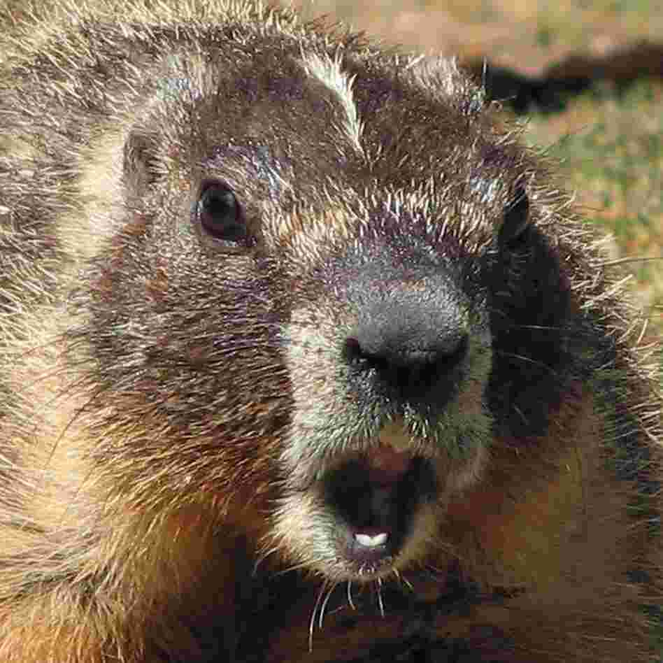 Another Scary Pair Of Jaws? A yellow-bellied marmot's scream helped a scientist figure out the secret to scary sounds.