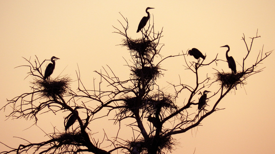 Herons nest in a tree along the Salton Sea. They are just one of the more than 400 species of birds in California's Imperial Valley that could could leave the area if the lake dries up. (Courtesy of Al Kalin)