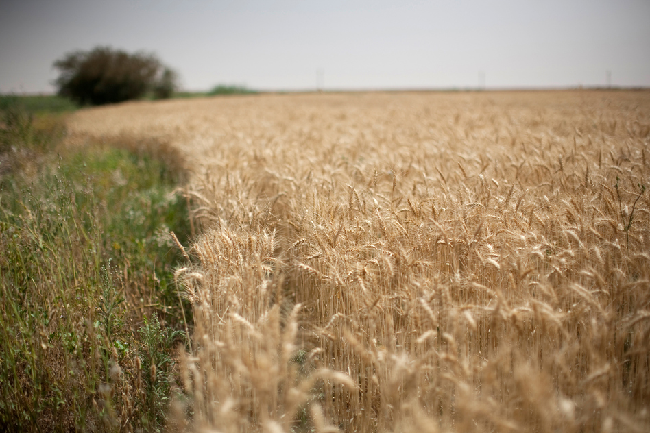 Wheat grows on South Valley Company's land. (Redux)