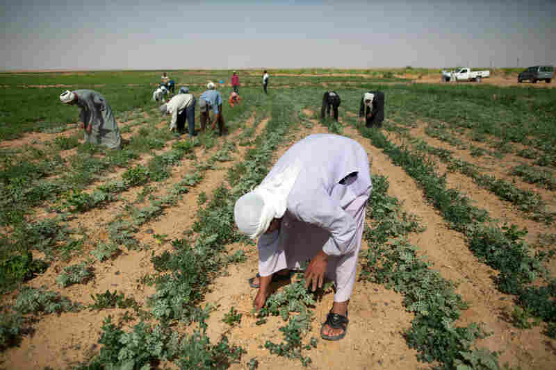 Laborers pull weeds from watermelon fields on South Valley Company land in Toshka.