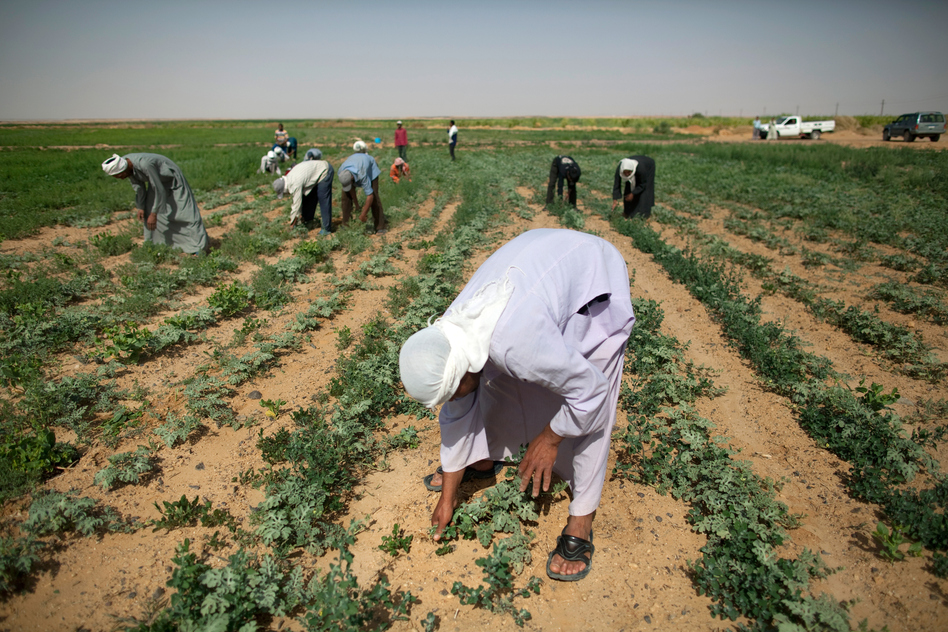 Laborers pull weeds from watermelon fields on South Valley Company land in Toshka. (Redux)