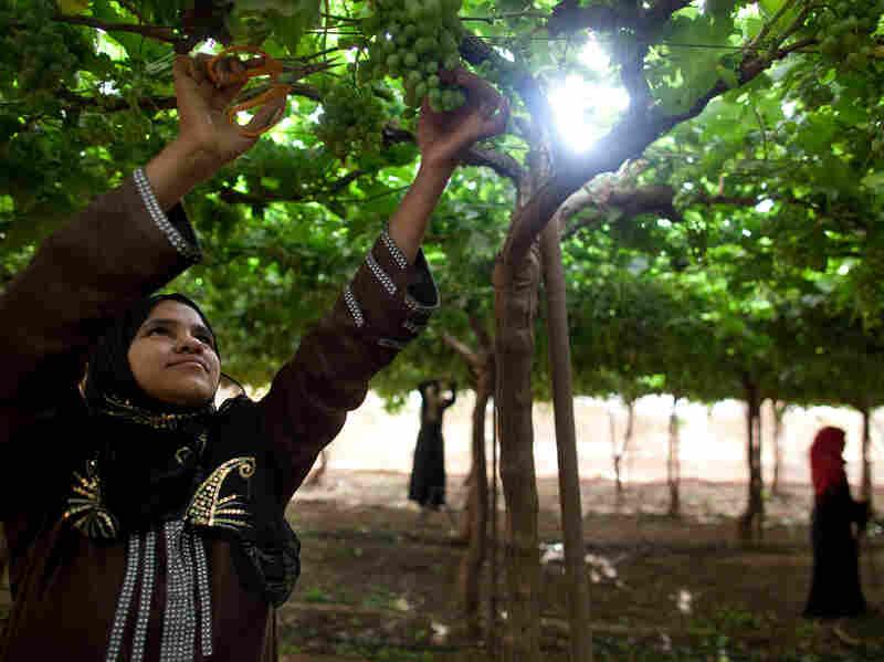 Yasmine, 16, prunes green grapes at Saudi-owned KADCO.