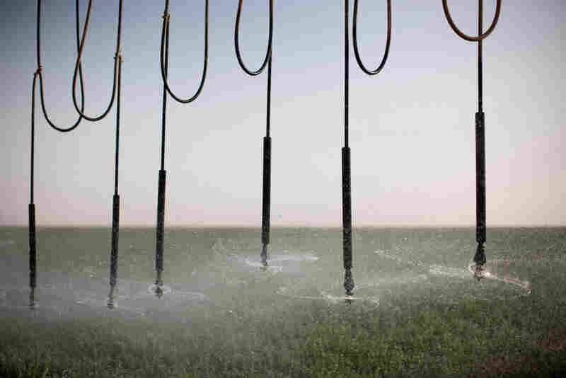 An industrial-sized sprinkler waters alfalfa plants at Saudi-owned Kingdom Agricultural Development Company (KADCO).